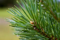 Raindrops on the fir branch Stock Photos