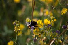 Bumble bee on a flower Stock Photos