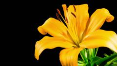 Time Lapse - Single Yellow Lily Flower Blooming - stock footage