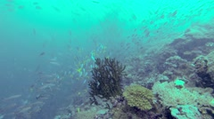 colorful fish on coral reef in Pacific ocean. - stock footage