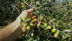 4K, Fondling olives on harvesting day Stock Footage