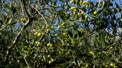 4K, Olive tree with organic olives, pan to left - stock footage
