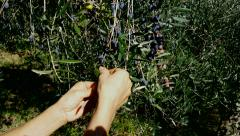 4K, Harvesting olives by hand - stock footage