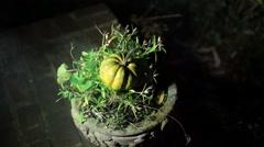 spooky pumpking halloween samhain squash - stock footage