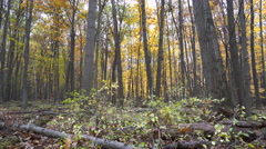 Dense forest in the Fall, yellow leaves falling off trees Stock Footage