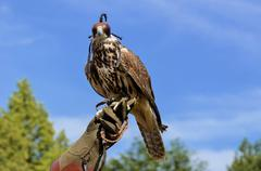 Falcon perched on its trainers hand - stock photo