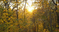 Direct sunlight through yellow autumn trees. Stock Footage