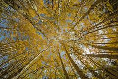 Yellow Aspen Tree Tops - stock photo