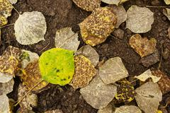 Green And Yellow Aspen Leaf On Ground Stock Photos