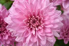 Close up of flower dahlia for background Stock Photos