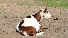 Goat brown white lying on meadow Stock Footage