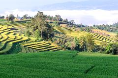 Rice field with terrace and mountain background, Ban Pa Bong Piang, Mae Jam,  Stock Photos