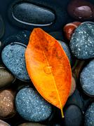 Autumn ,fall and zen like concepts orange leave fall on river stone . Stock Photos