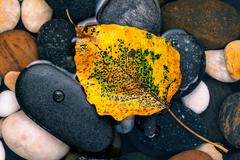 The yellow bodhi  leaves falling on river stone zen , peaceful, meditation co - stock photo