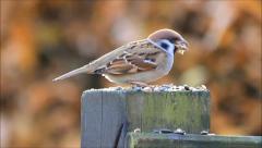 Sparrow Passer montanus eating bird seed, Feldsperling Stock Footage