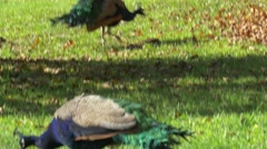 Peacock birds walking around in beautiful autumn park scenery Stock Footage