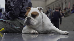 Bulldog resting in New York City Stock Footage