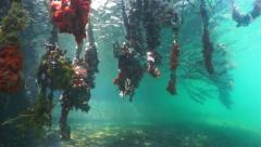Mangrove tree roots covered by colorful sea life Stock Footage