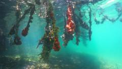 Mangrove underwater roots with colorful sea sponge Stock Footage