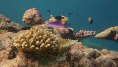 Clownfish approach coral anemone pan Stock Footage