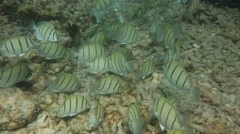 Convict Surgeonfish Grazing Flyby - stock footage