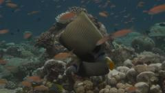 Emperor Angelfish in Anthias on a tropical reef setting Stock Footage