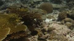 Goatfish school coral pan Stock Footage