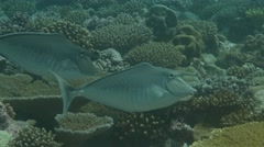 Humpback Unicornfish on a tropical reef Stock Footage