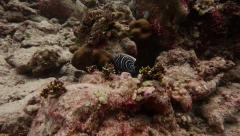 Juvenile Emperor Angelfish in Slow Motion Stock Footage