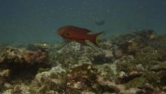 Grouper with Remora on tropical reef - stock footage
