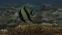Morish Idol  fish on a tropical reef Stock Footage