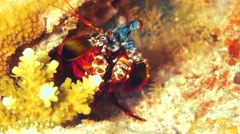 Mantis Shrimp Stock Footage