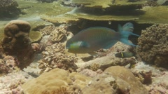Parrotfish herbivore fish feeding Stock Footage