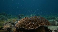 Plate coral and blue damsel fish Stock Footage
