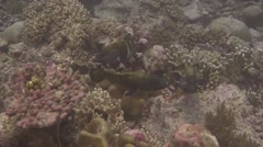 Peacock grouper showing courting behaviour - stock footage