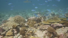 Reef shark and fusiliers Stock Footage