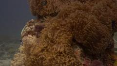 Stock Video Footage of Scorpionfish appear