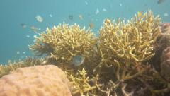 Staghorn coral many damsel fish Stock Footage