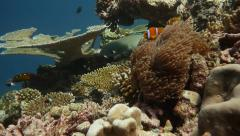 Tawny nurse shark and clownfish Stock Footage