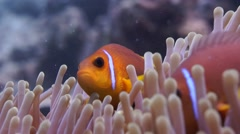 Maldivian Clownfish plays in anemone - stock footage