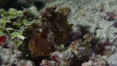 Leaf Scorpionfish Stock Footage