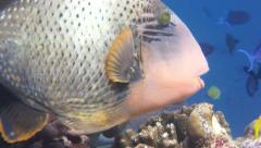 Yellow lined triggerfish feeding then surprise Morey eel comes out of nowhere Stock Footage