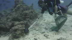 Diver collects Crown of Thorns Starfish - stock footage