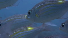 Striped Bream close angle of eye fish in school Stock Footage