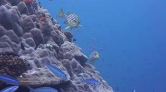 Oriental Sweetlips and Blue stripe Fusiliers fish everywhere on a coral reef - stock footage