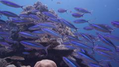 Wide angle many fish over coral reef including fusiliers and Sweetlips Stock Footage