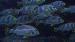 School of Sweetlips - Many large Adults and other fish - stock footage