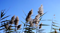 Isolated beautiful dry fluffy reed in the sun on wind moves Stock Footage
