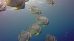 Batfish swimming in Pacific ocean Stock Footage