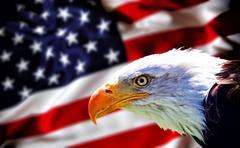 North American Bald Eagle - stock photo